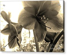 Amaryllis In Bloom Acrylic Print