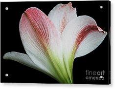 Amaryllis Acrylic Print by Judy Whitton