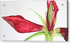 Amaryllis Acrylic Print by Kyong Burke