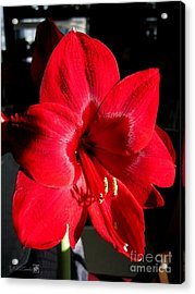 Acrylic Print featuring the photograph Amaryllis Named Black Pearl by J McCombie