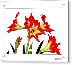 Amaryllis On White Acrylic Print by David Perry Lawrence