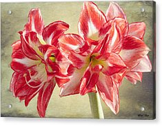 Amaryllis Red Acrylic Print by Jeff Kolker