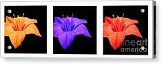Amaryllis Tryptych Acrylic Print by Kathie McCurdy