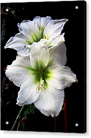 Amaryllis Acrylic Print by Will Boutin Photos