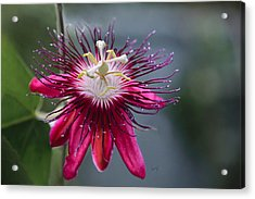 Amazing Passion Flower Acrylic Print