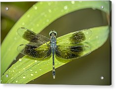 Amazon Dragon Fly Acrylic Print