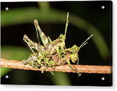 Amazonian Grasshoppers Mating Acrylic Print