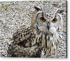 Amber Eyes Owl Acrylic Print