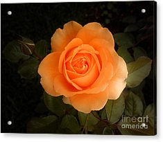 Amber Flush Rose Acrylic Print