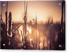 Amber Glow Acrylic Print by Jason Naudi Photography