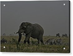 Acrylic Print featuring the photograph Amboseli Giant by Gary Hall