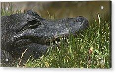 American Alligator Closeup Acrylic Print by David Millenheft