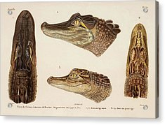 American Alligator Acrylic Print by Natural History Museum, London/science Photo Library