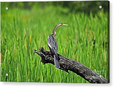 American Anhinga Acrylic Print by Al Powell Photography USA