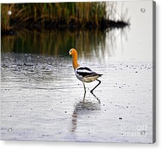 American Avocet Acrylic Print by Al Powell Photography USA