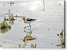 American Avocet Feeding Acrylic Print by James Steele