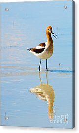 Acrylic Print featuring the photograph American Avocet by Vinnie Oakes