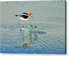 Acrylic Print featuring the photograph American Avocet With Young by Lula Adams