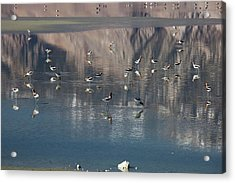American Avocets On Owens Lake Acrylic Print by Jim West