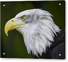 American Bald Eagle Acrylic Print by Chris Malone