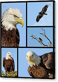 American Bald Eagle Collage Acrylic Print by Dawn Currie