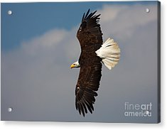 Acrylic Print featuring the photograph American Bald Eagle In Flight by Nick  Biemans