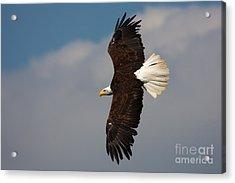 American Bald Eagle In Flight Acrylic Print