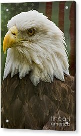American Bald Eagle With American Flag Background Acrylic Print by Anne Rodkin
