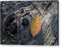 Acrylic Print featuring the photograph American Beech Leaf by Andrew Pacheco