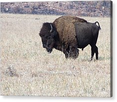 Acrylic Print featuring the photograph American Bison by Alan Lakin
