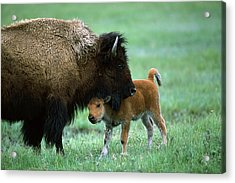American Bison And Calf Yellowstone Np Acrylic Print by Suzi Eszterhas