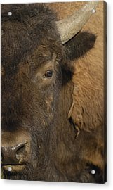 American Bison  Male Wyoming Acrylic Print by Pete Oxford