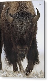 American Bison Portrait Acrylic Print by Tim Fitzharris