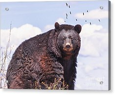 American Black Bear Acrylic Print