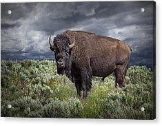 American Buffalo Or Bison In Yellowstone Acrylic Print