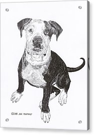 American Bull Dog As A Pup Acrylic Print by Jack Pumphrey