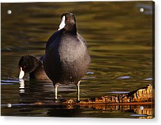 Acrylic Print featuring the photograph American Coot  by Brian Cross