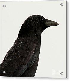 American Crow - Black On White Acrylic Print