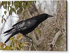 American Crow In A Tree Acrylic Print