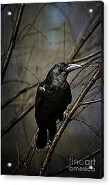 American Crow Acrylic Print