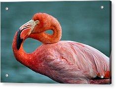 American Flamingo In Galapagos Acrylic Print