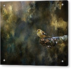 American Goldfinch 4 Acrylic Print by Deena Stoddard