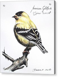 American Goldfinch Acrylic Print by Katharina Filus