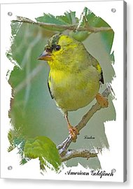 American Goldfinch Acrylic Print by Larry Linton