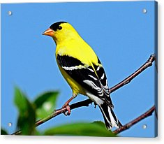 American Goldfinch Acrylic Print by Rodney Campbell