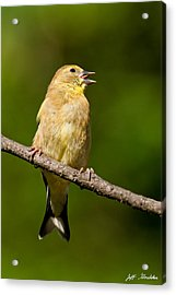 American Goldfinch Singing Acrylic Print