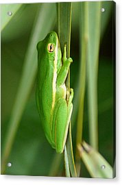 American Green Tree Frog Acrylic Print by Kim Pate