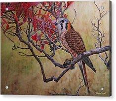 American Kestrel Female Acrylic Print