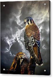 American Kestrel Acrylic Print by Keith Hutchings