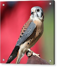Acrylic Print featuring the photograph American Kestrel by Nathan Rupert